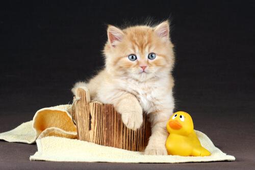 Dicas para dar banho em gatos