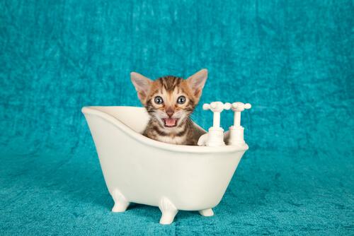 Dando banho em gatos