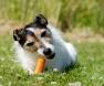cão-e-cenoura