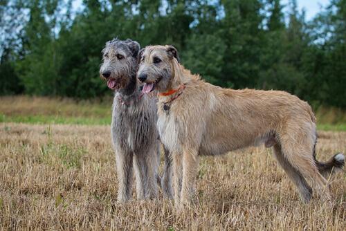 5 raças de cães que têm barba