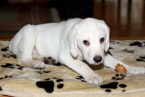 Cães com albinismo