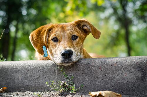Como adestrar cães tímidos