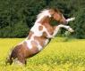 cavalo pintado