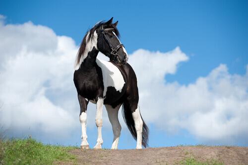 Temperamento do cavalo malhado