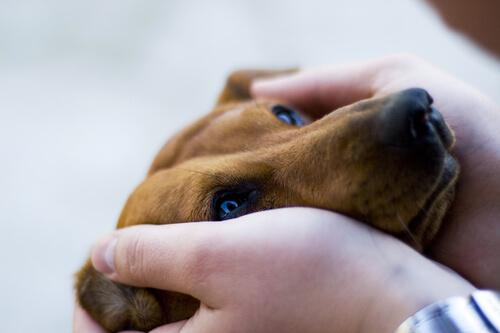 Como limpar as orelhas dos cães