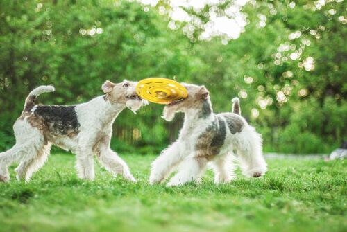 fox-terrier-3