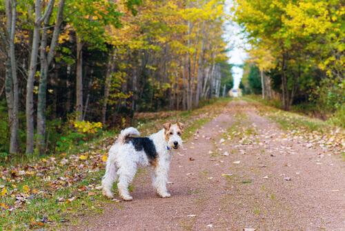 O Fox Terrier, um cão alegre e independiente