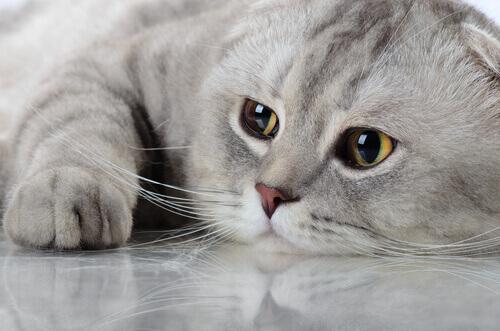 Mentiras verdades e mitos sobre nossos amados gatos