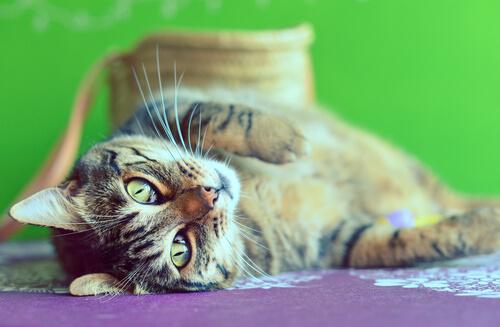 Gatos de barriga para cima