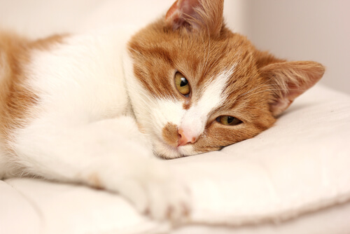 Como o gato com diarreia deve ser tratado?