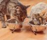 gatos-comendo