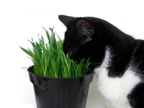Gato comendo grama
