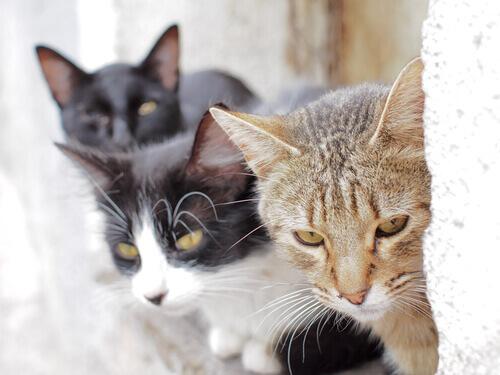 De onde vêm os gatos?
