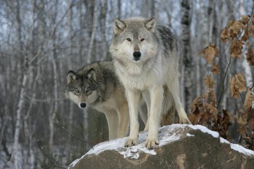 Temperamento dos cães lobo