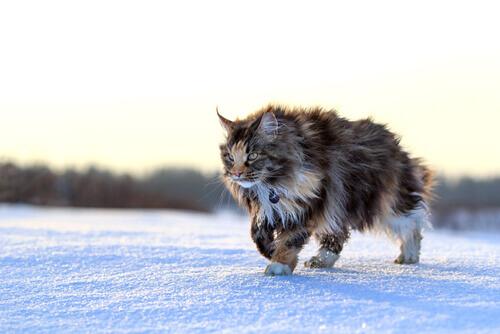 8 raças de gatos grandes