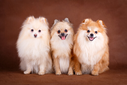 O Pomerânia, um cachorro inteligente, carinhoso e nada agressivo!