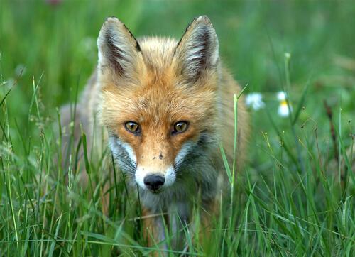 Domesticando as raposas