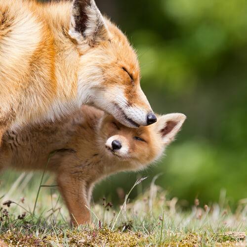 Como alimentar raposas domésticas