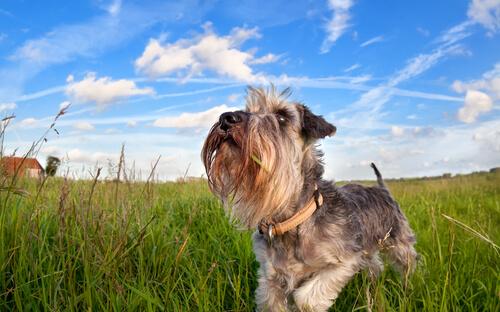 Cachorro da raça Schnauzer