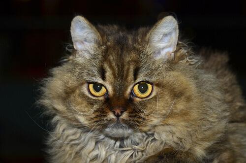 As características do gato