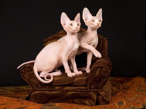 Gatos da raça Sphynx