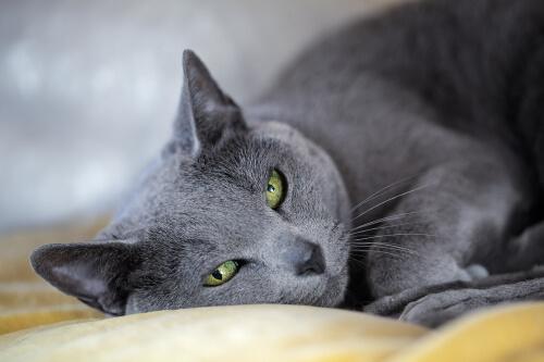 Gato da raça Azul Russo