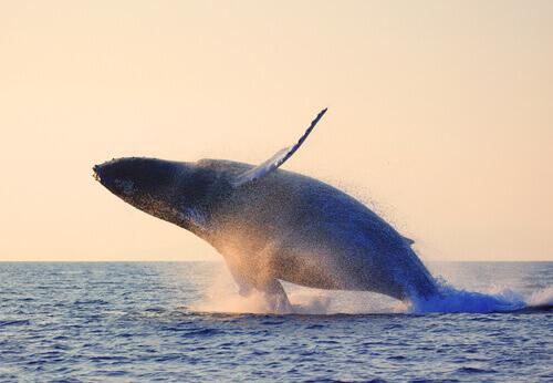 A baleia da Groenlândia