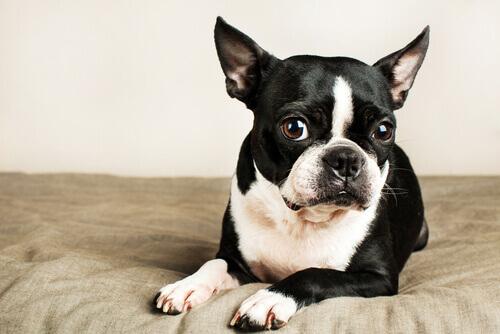 Conheça as raças de cães ideais para apartamento