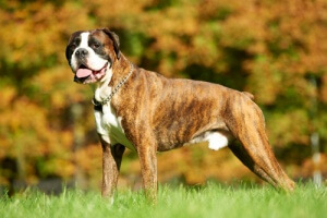 Cães com flatulência
