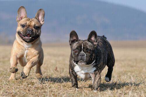 Cães da raça Buldogue Francês