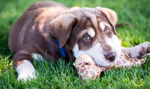 Como educar um cão para não morder o que não é seu?