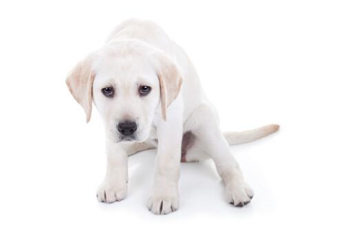 O que devo fazer se meu cachorro tremer?
