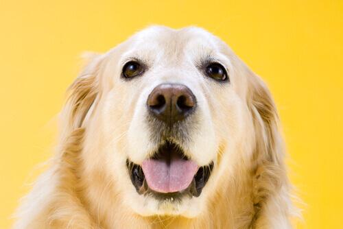 cachorro com nariz ressecado