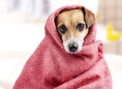 cachorrocomtoalha