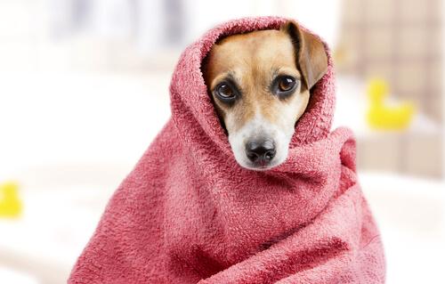 Prepare o seu cão para o banho: como tirar o medo