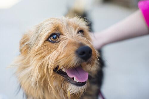 Um estudo mostra que os cães preferem carícias a elogios