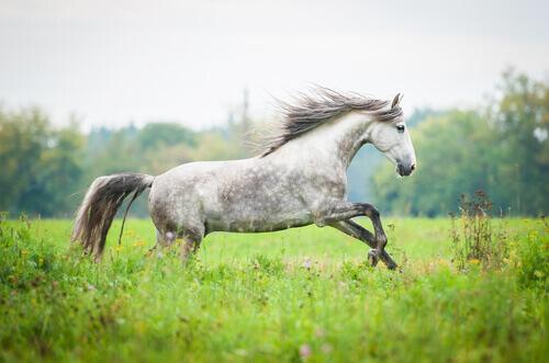 Cavalo da raça andaluz