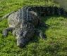 crocodrilo