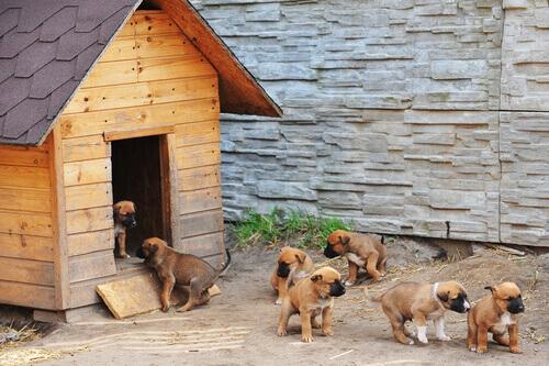 A tosse dos canis: uma doença muito comum e fácil de tratar