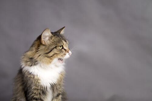 Por que os gatos deixam a boca aberta?