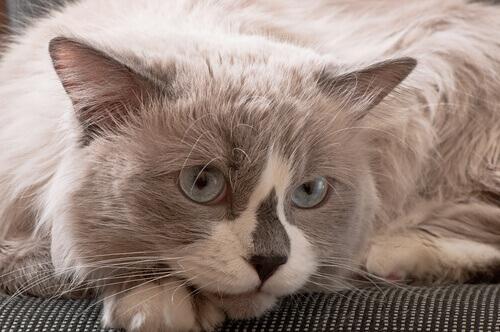 A fumaça de cigarro afeta os gatos