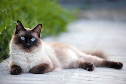 Conheça as raças de gatos mais sociáveis