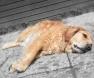 golden-retriever-deitado