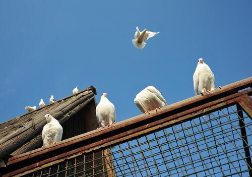 Pombos-correios na história