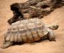 tartaruga-da-terra