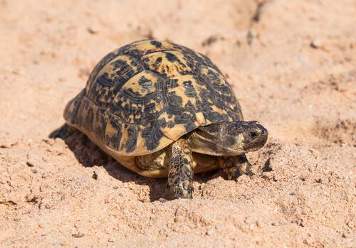Como as tartarugas se reproduzem?