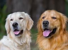 adotar-um-cão-adulto
