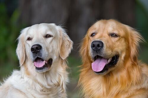 Razões para adotar um cão adulto