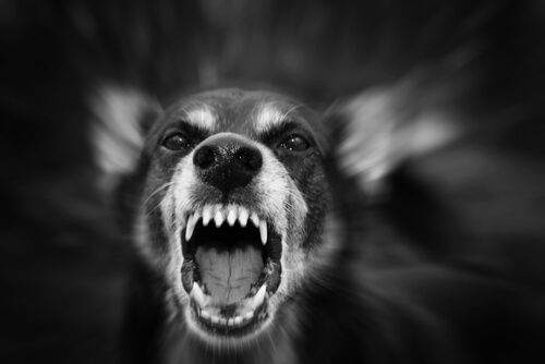 Não tente acariciar um cão agressivo