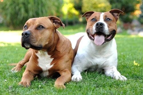 Cachorros da raça Pit Bull